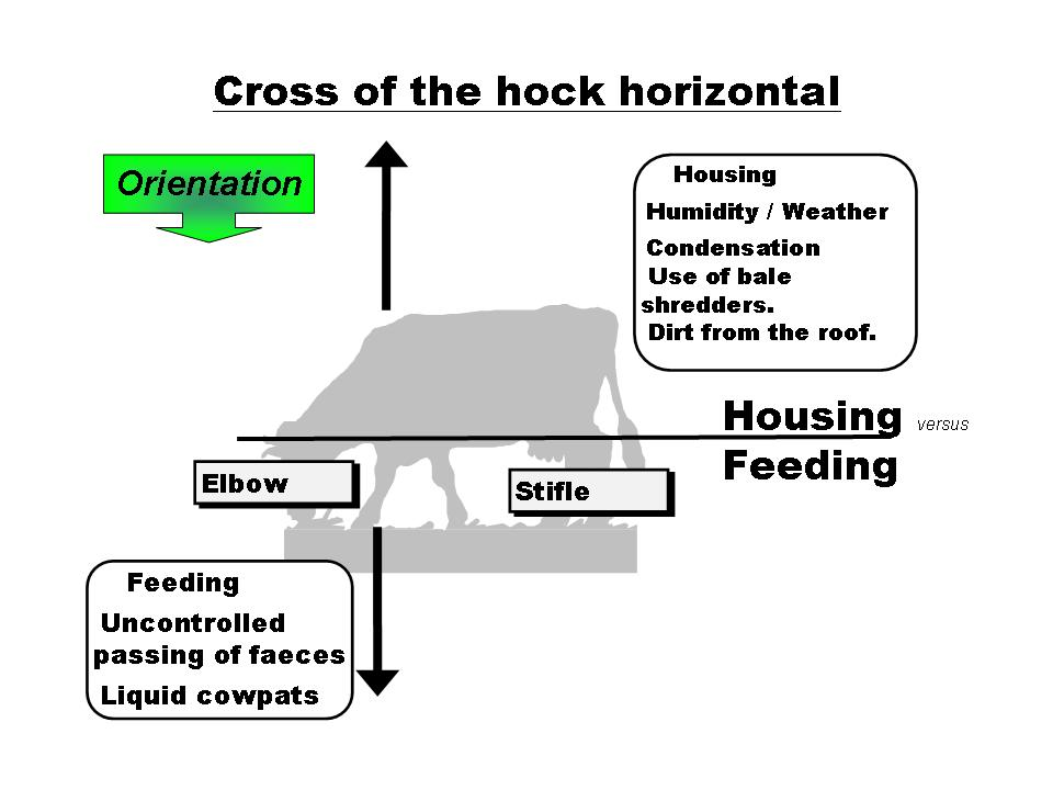 OBSALIM-Cattle Feeding Cross of the hock horizontal